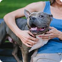 Adopt A Pet :: Skylar - Reisterstown, MD