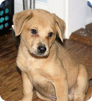 Shepherd (Unknown Type)/Labrador Retriever Mix Puppy for adoption in Hayes, Virginia - Herman