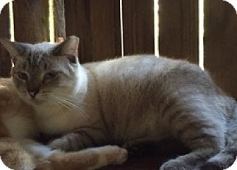 Siamese Cat for adoption in Floral City, Florida - Gabby