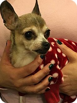 Chihuahua Mix Dog for adoption in Long Beach, New York - Penelope