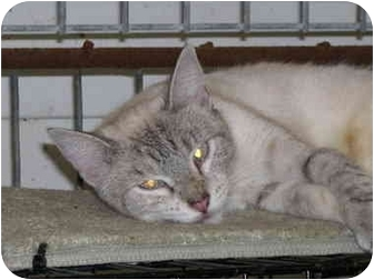 Siamese Cat for adoption in Drumright, Oklahoma - Paris