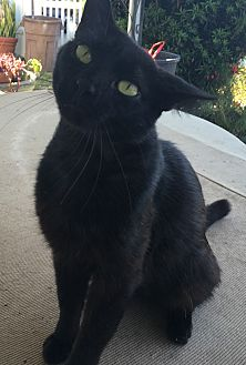 Bombay Cat for adoption in Port Richey, Florida - Spirit