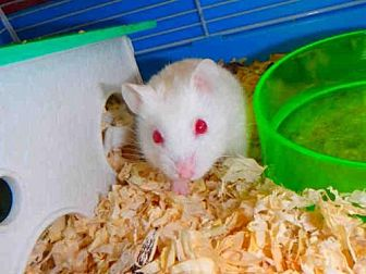 Hamster for adoption in Los Angeles, California - A1691870