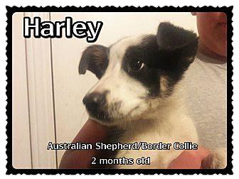 Australian Shepherd/Border Collie Mix Puppy for adoption in Richmond, California - Harley