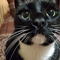 Adopt A Pet :: Mr. Whiskers - Castro Valley, CA