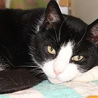 Adopt A Pet :: BOOTS - Clayton, NJ