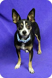 Chihuahua Mix Dog for adoption in Westminster, Colorado - Almond