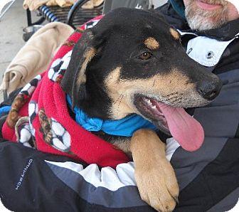 Labrador Retriever/Hound (Unknown Type) Mix Puppy for adoption in Ashland, Virginia - Dasher-ADOPTED!!!
