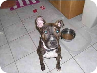 Boxer/Terrier (Unknown Type, Medium) Mix Dog for adoption in Plainfield, Illinois - Roxy