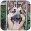 Photo 3 - German Shepherd Dog Dog for adoption in Los Angeles, California - Eli von Elsberg