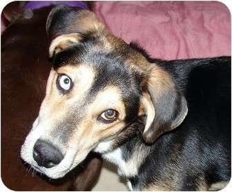 Husky/Shepherd (Unknown Type) Mix Dog for adoption in Cincinnati, Ohio - Rollie