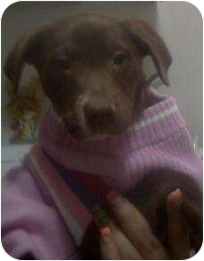 Labrador Retriever Mix Puppy for adoption in Hammonton, New Jersey - Fudge