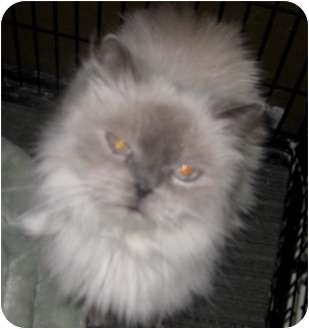 Himalayan Cat for adoption in Dallas, Texas - Doc Holiday