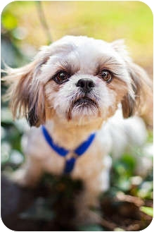 Shih Tzu Dog for adoption in Sherman Oaks, California - Amir