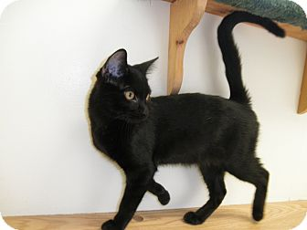 Domestic Mediumhair Kitten for adoption in Milwaukee, Wisconsin - Sluggo