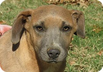 Labrador Retriever Mix Puppy for adoption in Conway, New Hampshire - Sadie