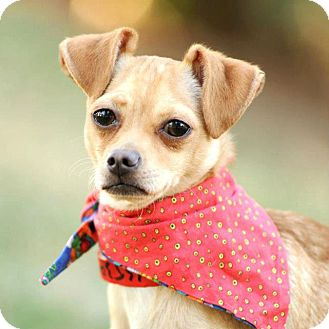 Chihuahua/Italian Greyhound Mix Dog for adoption in Los Angeles, California - Tommy super cute! *video*