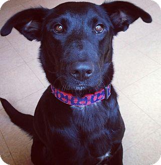Labrador Retriever Mix Dog for adoption in Gig Harbor, Washington - Hailey