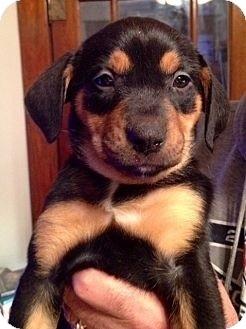 Beagle/Rottweiler Mix Puppy for adoption in waterbury, Connecticut - Bonnie Bon Bons