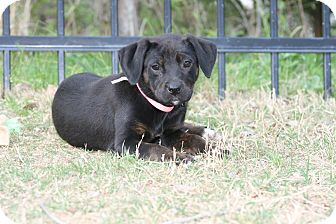 Labrador Retriever Mix Puppy for adoption in Groton, Massachusetts - Mini