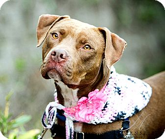 Pit Bull Terrier Mix Dog for adoption in Vista, California - Mary Ann