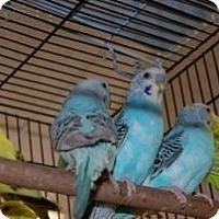 Adopt A Pet :: Parakeets - Brooklyn, NY