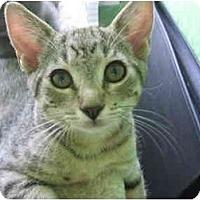 Adopt A Pet :: Tabby Boy - Greenville, SC