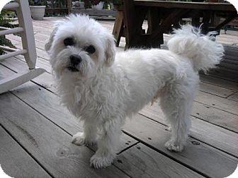 Maltese Dog for adoption in Telford, Pennsylvania - Trigger