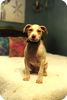 Pit Bull Terrier/Catahoula Leopard Dog Mix Puppy for adoption in Hagerstown, Maryland - Bradley Cooper