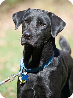 Labrador Retriever Mix Dog for adoption in Lewisville, Indiana - Ivanka