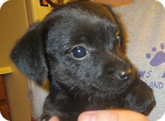 Dachshund/Poodle (Miniature) Mix Puppy for adoption in Greenville, Rhode Island - Sally