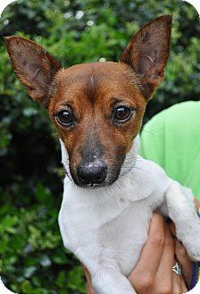 Rat Terrier Mix Dog for adoption in Atlanta, Georgia - Remi