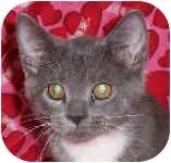 Domestic Shorthair Kitten for adoption in Murphysboro, Illinois - Mopsy