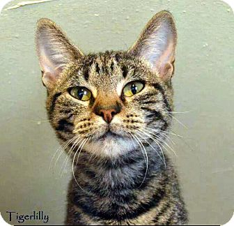 Domestic Shorthair Cat for adoption in Oklahoma City, Oklahoma - Tiger Lily