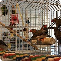 Adopt A Pet :: 6 Young Finches - Punta Gorda, FL