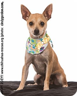 Chihuahua Mix Dog for adoption in Dallas, Texas - Zoey