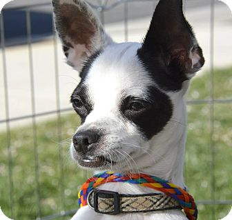 Chihuahua Mix Dog for adoption in Meridian, Idaho - Liberace