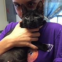 Domestic Shorthair Cat for adoption in Windsor, Connecticut - Little Jon