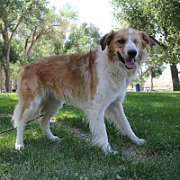 Collie/Great Pyrenees Mix Dog for adoption in Salina, Utah - Zoey