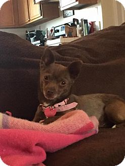 Chihuahua Dog for adoption in Sparks, Nevada - Lainey