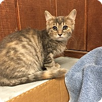 Domestic Mediumhair Cat for adoption in Baltimore, Maryland - Gemma (Hot Rod Litter)