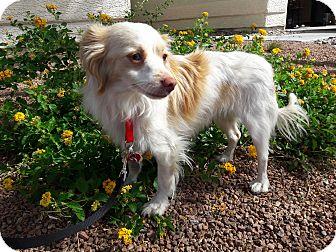Papillon/Chihuahua Mix Dog for adoption in Las Vegas, Nevada - Lindo