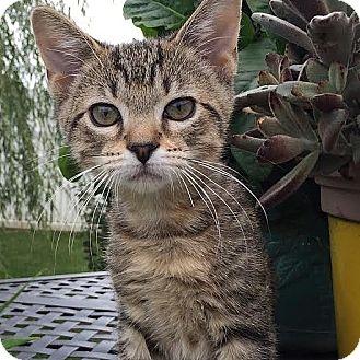 Domestic Shorthair Kitten for adoption in Columbia, Illinois - JoJo