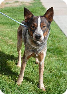 Australian Cattle Dog Dog for adoption in Ogden, Utah - Ruger