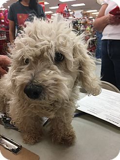Poodle (Toy or Tea Cup) Mix Dog for adoption in Tucson, Arizona - Jazz