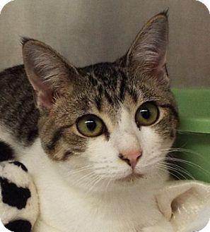 Domestic Shorthair Cat for adoption in Grants Pass, Oregon - Tulip