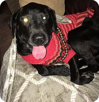 Labrador Retriever Dog for adoption in Spring, Texas - Hershey