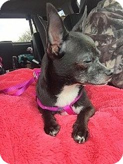 Chihuahua Dog for adoption in Mary Esther, Florida - Betty Boop