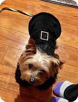 Yorkie, Yorkshire Terrier Mix Dog for adoption in Grand Rapids, Michigan - Petunia