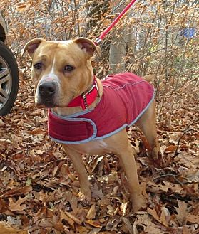 Pit Bull Terrier Dog for adoption in Rockaway, New Jersey - Rosco Pitty Pup